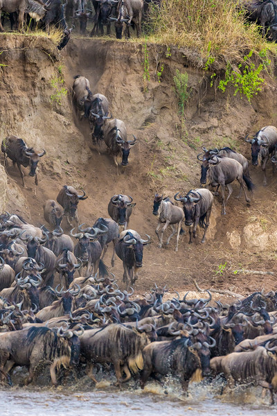 Africa. Tanzania. Wildebeest herd crossing the Mara river during the annual Great Migration in Serengeti NP.