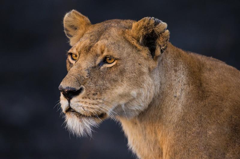 Africa. Tanzania. African lioness (Panthera leo)  in Serengeti NP.