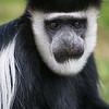 Colobus Monkey at Lake Naivasha, Kenya.
