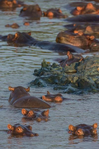 Africa. Tanzania. Hippopotamus (Hippopotamus amphibius) in Serengeti NP.
