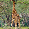 Africa. Kenya. Rothschild's Giraffe at Lake Nakuru NP.