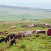 Africa. Tanzania. The Eastern Serengeti Plains and a Masai Village are behind a Masai elder herding his cattle near Ngorongoro Crater in the Ngorongoro Conservation Area.