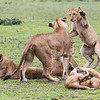 Africa. Tanzania. African lion cubs (Panthera leo) mock fighting at Ndutu in Serengeti NP.