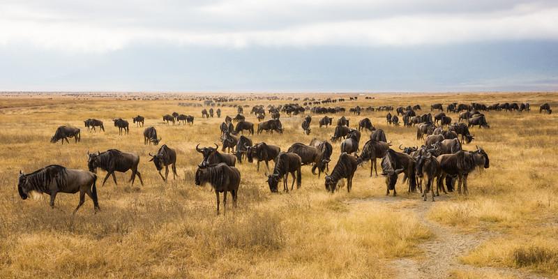Africa. Tanzania. Common Zebras and Wildebeest herd at Ngorongoro Crater.