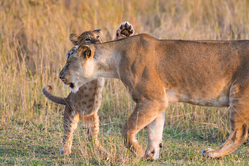 Africa. Tanzania. African lioness and cub<br />  (Panthera leo) in Serengeti NP.