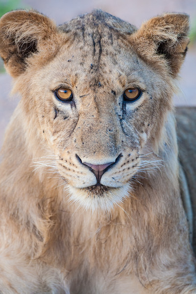 Africa. Tanzania. Young lion at rest in Tarangire NP.