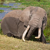Africa. Tanzania. Bull Elephant grazing at the Hippo Pool in Ngorongoro Crater.