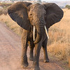 Africa. Tanzania. Female Elephant in Serengeti NP.