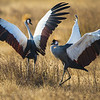 Africa. Tanzania. Grey crowned cranes (Balearica regulorum) at Ngorongoro crater.
