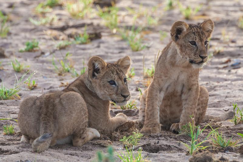 Africa. Tanzania. Young lion cubs at play in Tarangire NP.