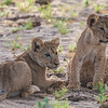 Africa. Tanzania. Young lion cubs at play in Tarangire NP.