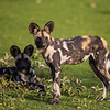 Africa. Tanzania. African wild dogs (Lycaon pictus), an endangered species, in Serengeti NP.