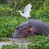 Africa. Tanzania. Hippopotamus with Yellow-billed Egret in the Hippo Pool at Ngorongoro Crater.