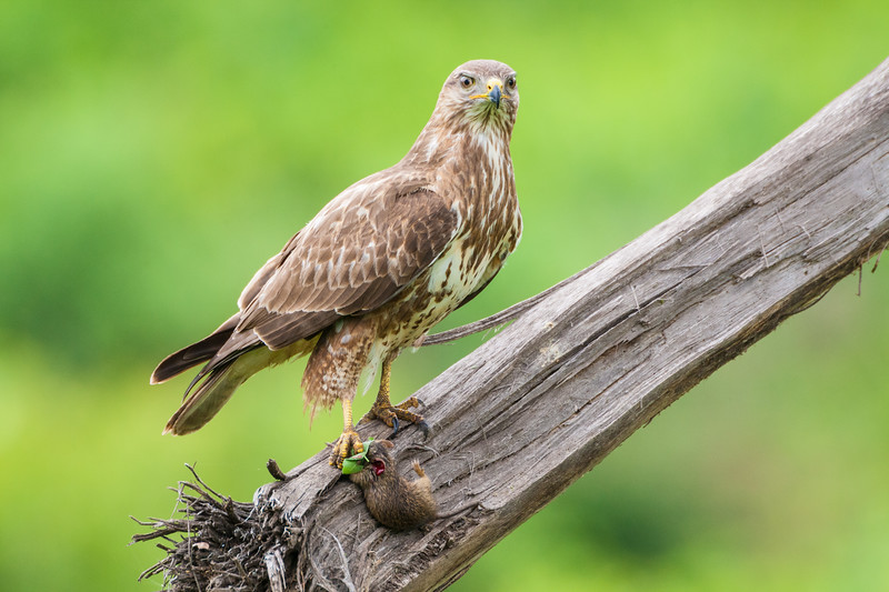 Africa. Tanzania. Common (Steppe) Buzzard with mouse kill at Ngorongoro Crater, Ngorongoro Conservation Area.