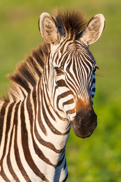 Africa. Tanzania. Zebra at Ngorongoro Crater in the Ngorongoro Conservation Area.
