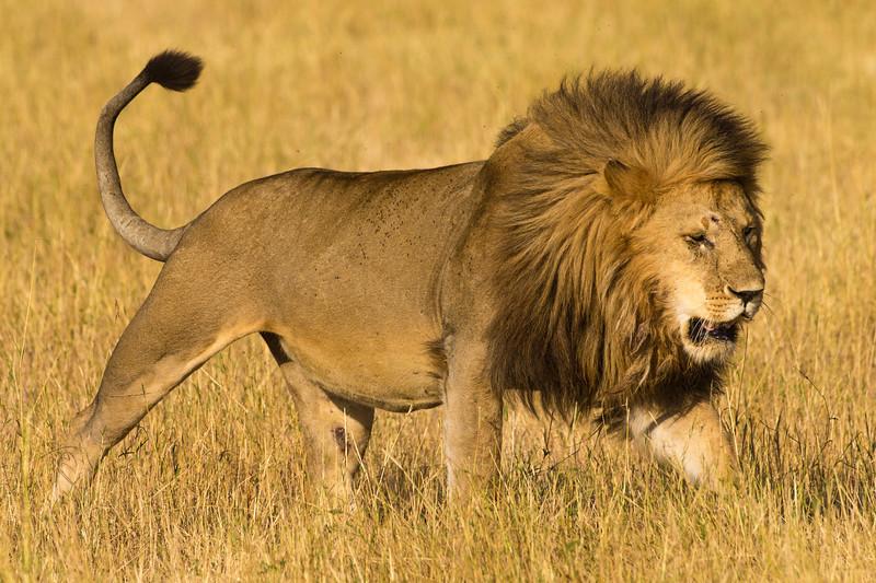 Africa. Tanzania. African lion male (Panthera leo) in Serengeti NP.