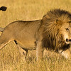 Africa. Tanzania. African lion male (Panthera leo) in Serengeti NP.