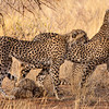Africa. Kenya. Cheetahs hunting at Samburu NP.