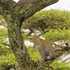 Africa. Tanzania. African leopard  (Panthera pardus) mother and cub in a tree in Serengeti NP.