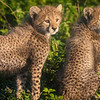 Africa. Tanzania. Cheetah cubs at Ndutu in the Ngorongoro Conservation Area.