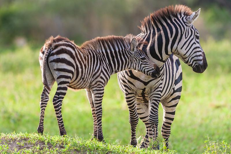 Africa. Tanzania. Common Zebra mother and baby at Tarangire NP.