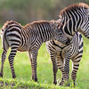Africa. Tanzania. Common Zebra mother and baby at Tarangire NP.