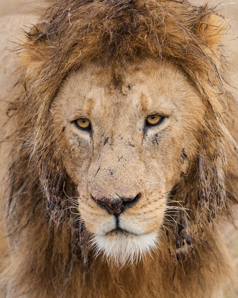 Africa. Tanzania. Male Lion at Ngorongoro Crater.