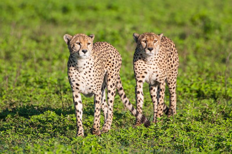 Africa. Tanzania. Male Cheetahs at Ndutu in the Ngorongoro Conservation Area.