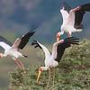 Africa. Tanzania. Yellow-billed Storks in Manyara NP.