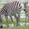 Africa. Tanzania. Zebra mother and colt at Ngorongoro Crater in the Ngorongoro Conservation Area.