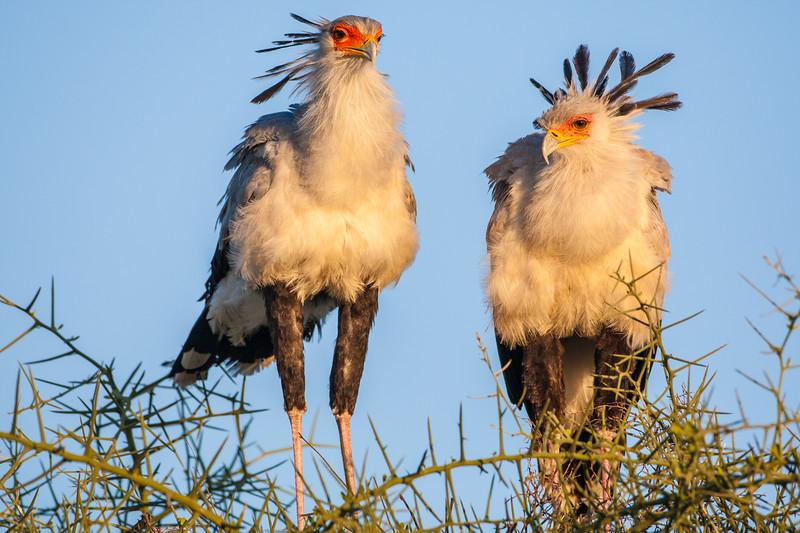 Africa. Tanzania. Secretary Birds at Ndutu in the Ngorongoro Conservation Area.