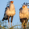 Africa. Tanzania. Secretary Birds at Ndutu in the Ngorongoro Conservation Area.