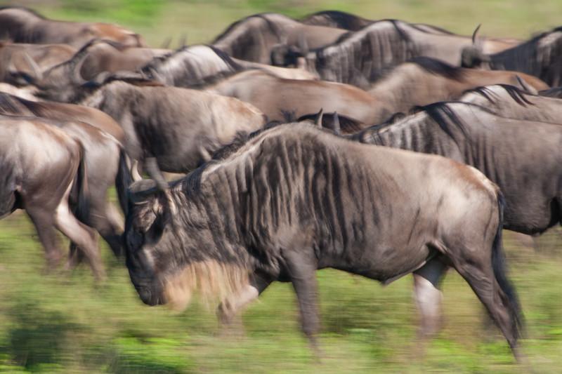 Africa. Tanzania. Wildebeest trek across the plains at Ndutu in the Ngorongoro Conservation Area.