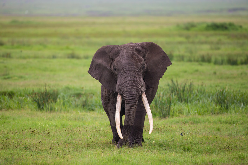 Africa. Tanzania. African elephant (Loxodonta africana) at the crater in the Ngorongoro Conservation Area.