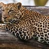 Leopard in a tree at Lake Nakuru NP, Kenya.