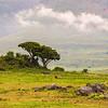 Africa. Tanzania. African lion (Panthera leo) at Ngorongoro crater in the Ngorongoro Conservation Area.