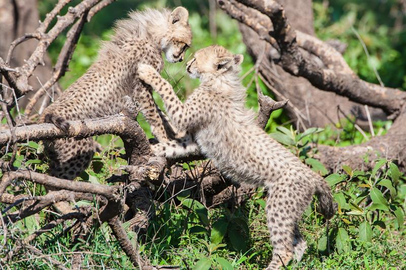 Africa. Tanzania. Cheetah cubs playing at Ndutu in the Ngorongoro Conservation Area.