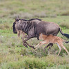 Africa. Tanzania. Wildebeest mother and baby at Ndutu in the Ngorongoro Conservation Area.