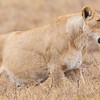 Africa. Tanzania. Pregnant Lioness hunting at Ngorongoro Crater.