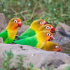 Africa. Tanzania. Fischer's Lovebirds drinking at Ndutu in the Ngorongoro Conservation Area.