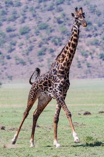 Africa. Tanzania. Male Giraffe in the Ngorongoro Conservation Area.
