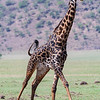 Africa. Tanzania. Male Giraffe in the Ngorongoro Conservation Area.
