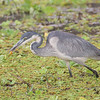 Africa. Tanzania. Black-headed Heron with butterfly at Tarangire NP.