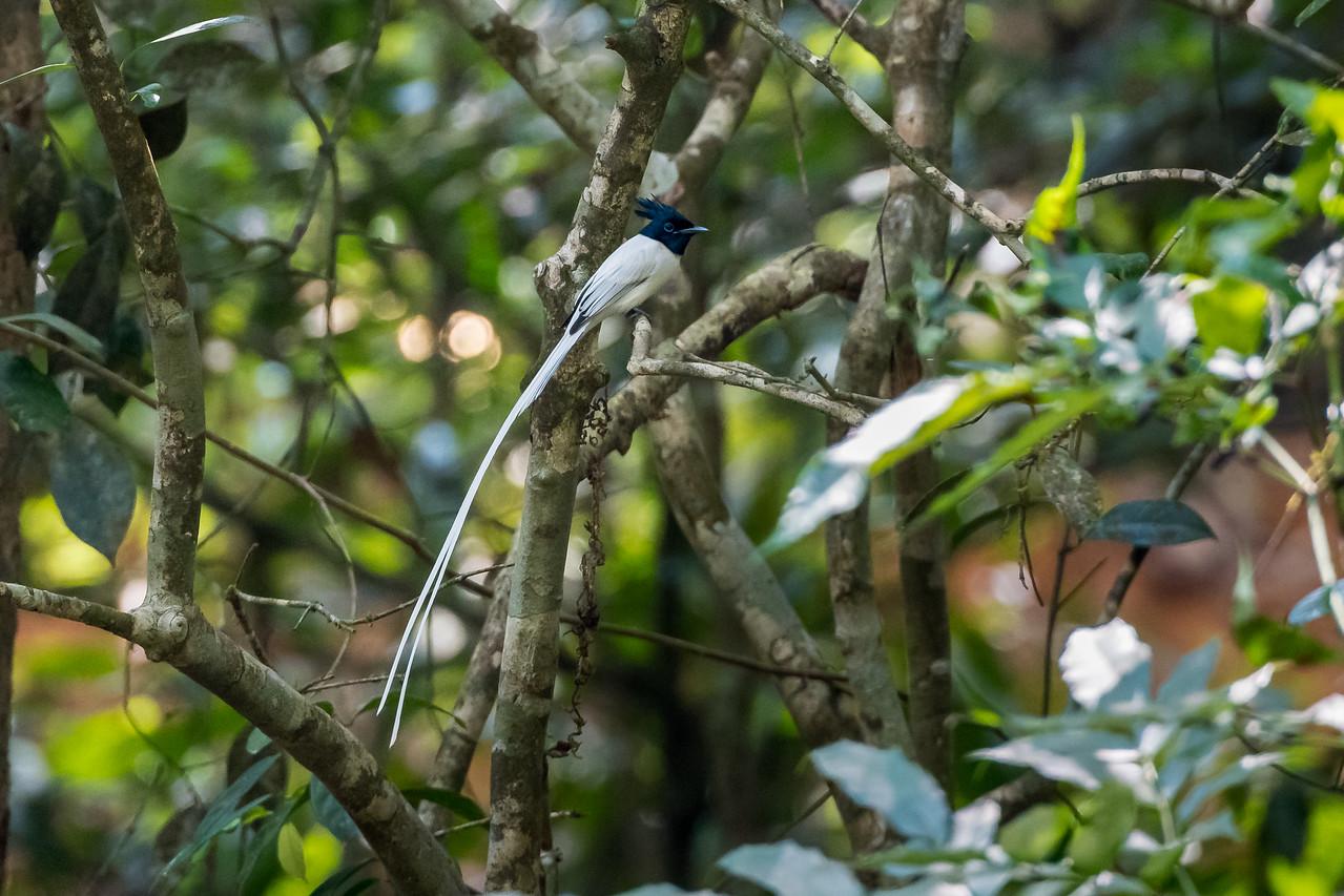 Paradise Flycatcher (Tersiphone paradisi (part))