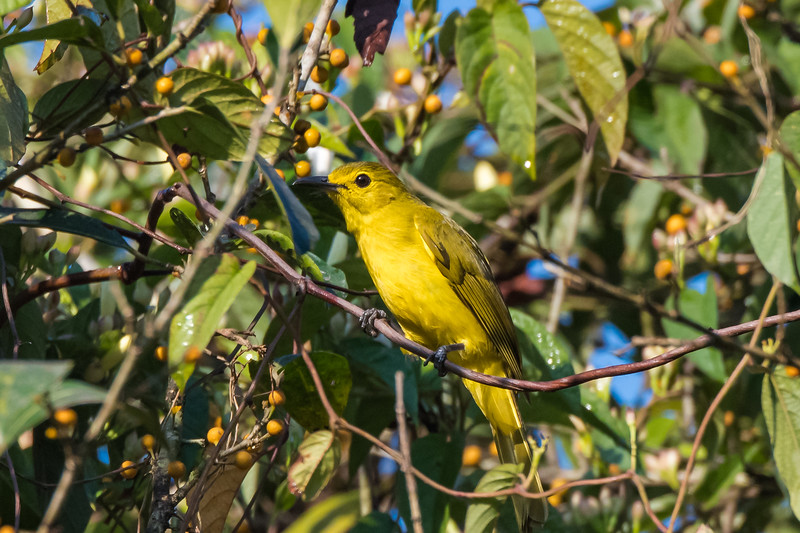 Yellow-browed Bulbul ((Iole indica)