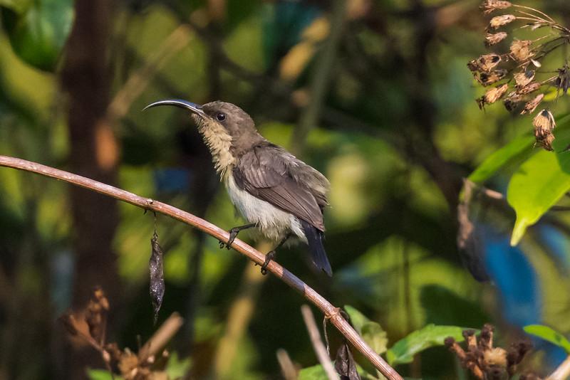 Loten's Sunbird (f)