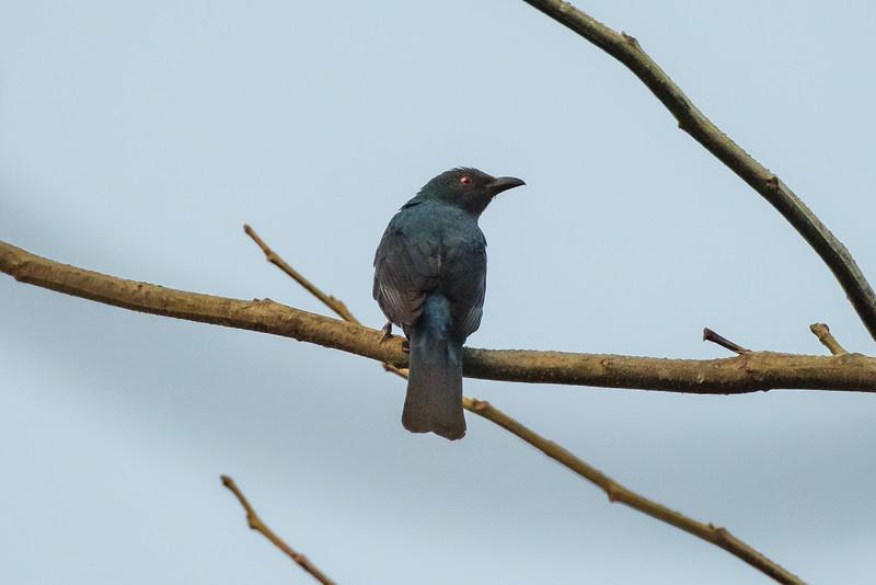 Asian Fairy Bluebird (f)
