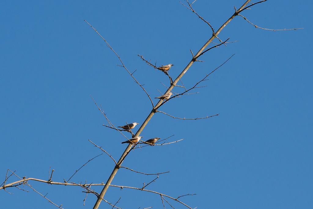 Blyth's Starling