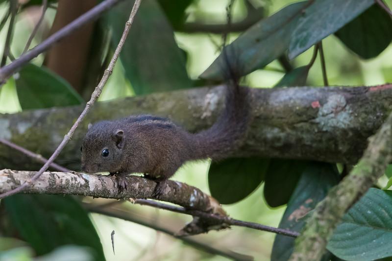 Dusky-Striped Squirrel (Funambulus sublineatus)