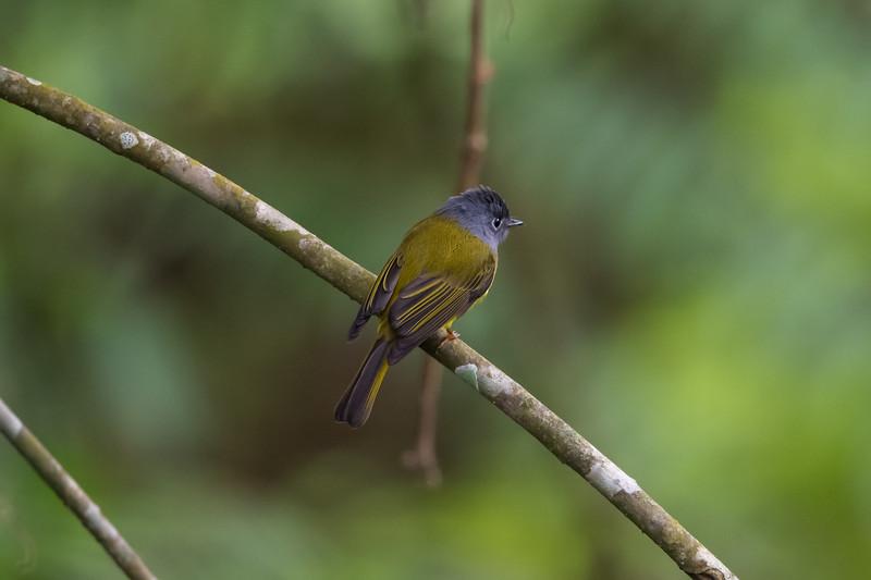 Grey-headed Canary Flycatcher (Calicicapa ceylonensis)